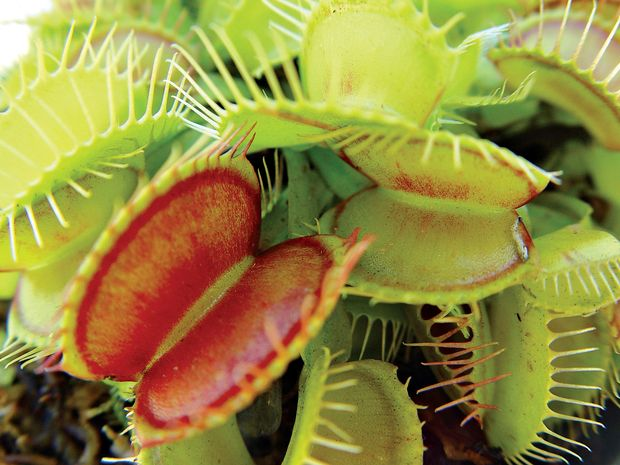 The Venus fly trap needs at least four hours of direct sunlight daily.