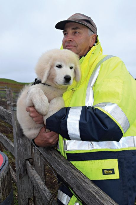 Meet the Maremmas tour guide Phil Root with one of the newest and cutest Middle Island Maremma Project recruits.