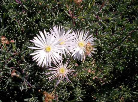 Lampranthus white.