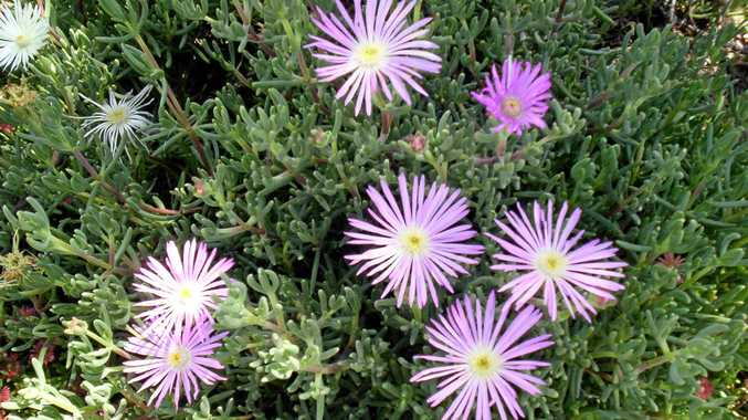 Lampranthus relatively easy to grow in a sunny well-drained position.
