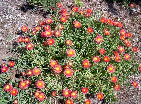 FULL BLOOM: The vibrant flowers of the Lampranthus are in various colour shades of orange, pink, red, white, yellow as well some bicoloured varieties