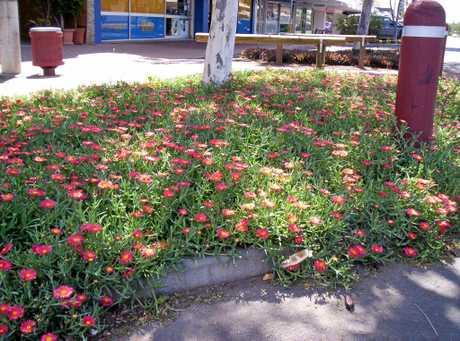 Lampranthus in Biloela.