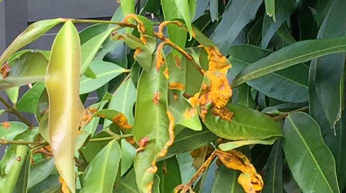Serious fungal disease Myrtle Rust has spread throughout the region.