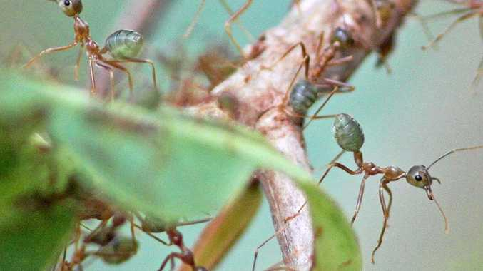Green tree ants or Oecophylla smaragdina are high in protein.