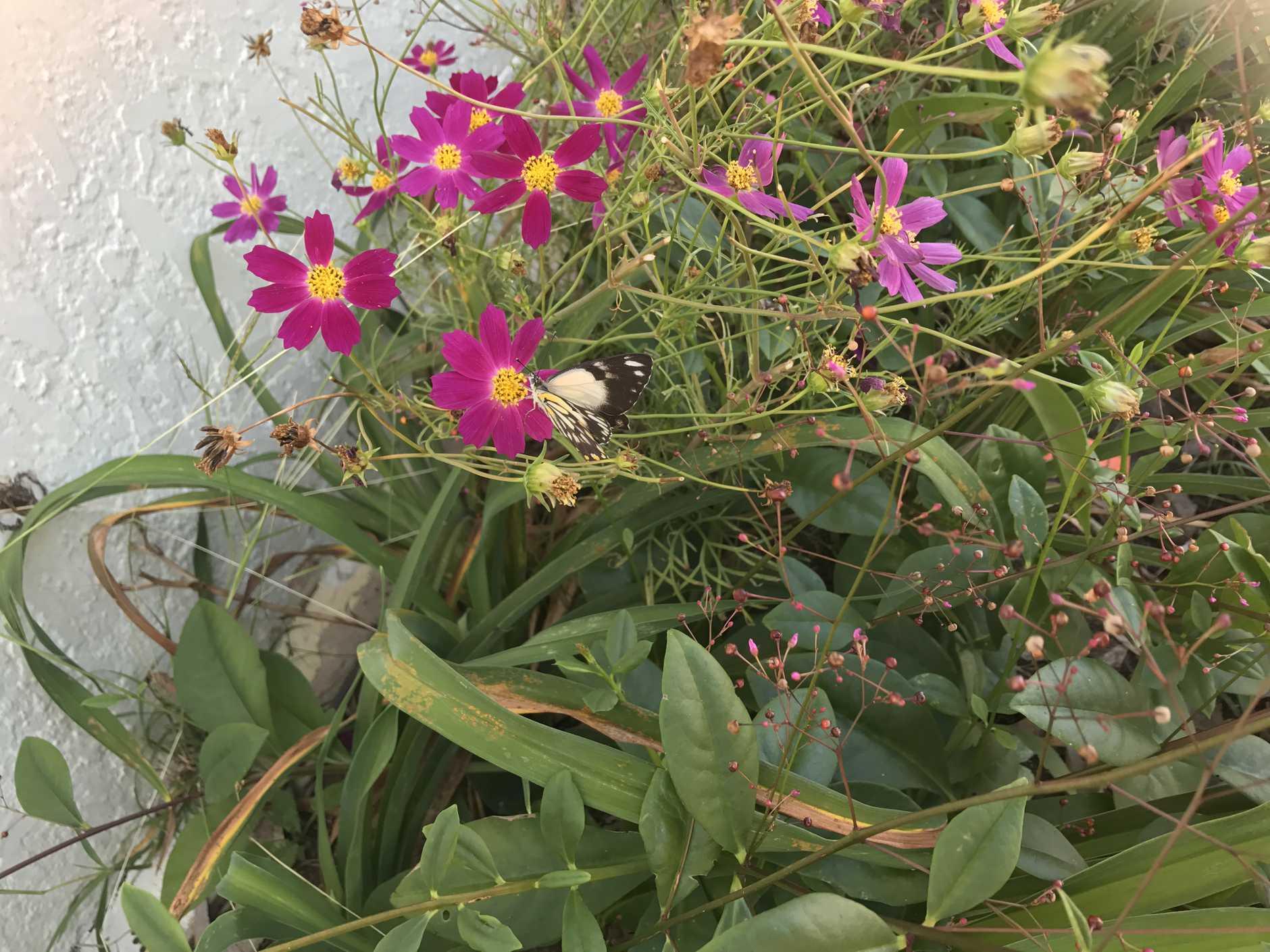 Butterflies have been fluttering in to the region.