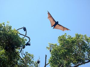 Noosa Council's plan for the flying fox 'conflict zone'