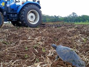 Hare-y start to life as turtles outfox tractor