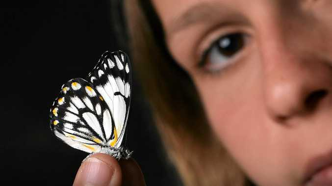 Thousands of butterflies have descended on the Coast. Hannah Woods with a collection found along Mudjimba Beach.