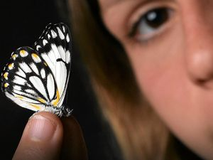 MOTH BUSTERS: Why butterflies will live longer than a day