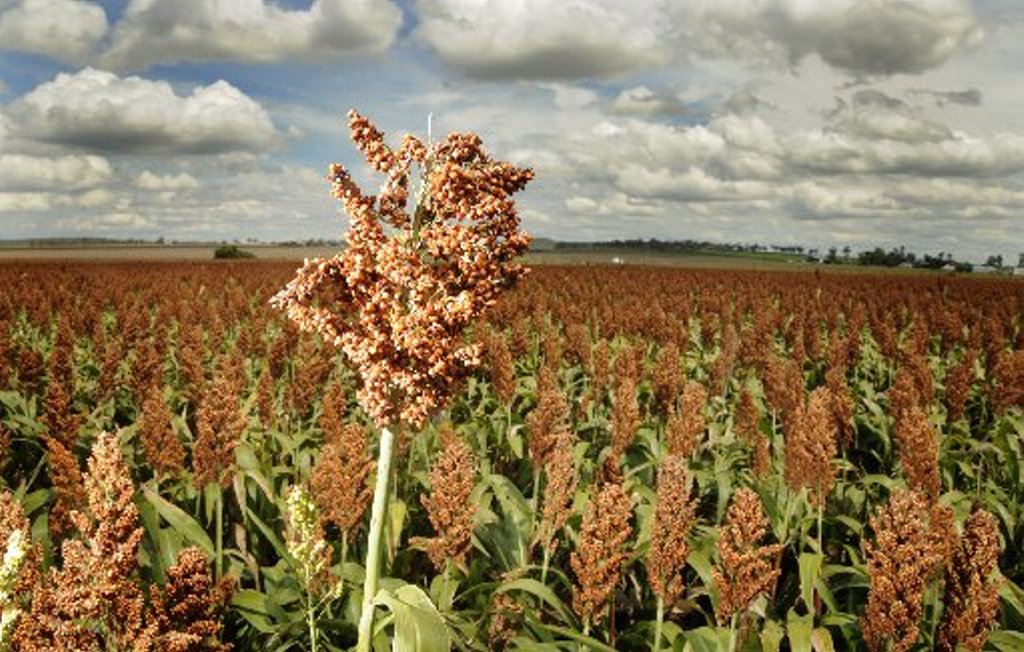 GROWING POTENTIAL: Queensland producers could be in for a boost as the biofuels mandate comes into effect in 2017, creating a higher demand for grain and sorghum across the state.