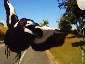'It drew blood': Toowoomba's magpie hot spots