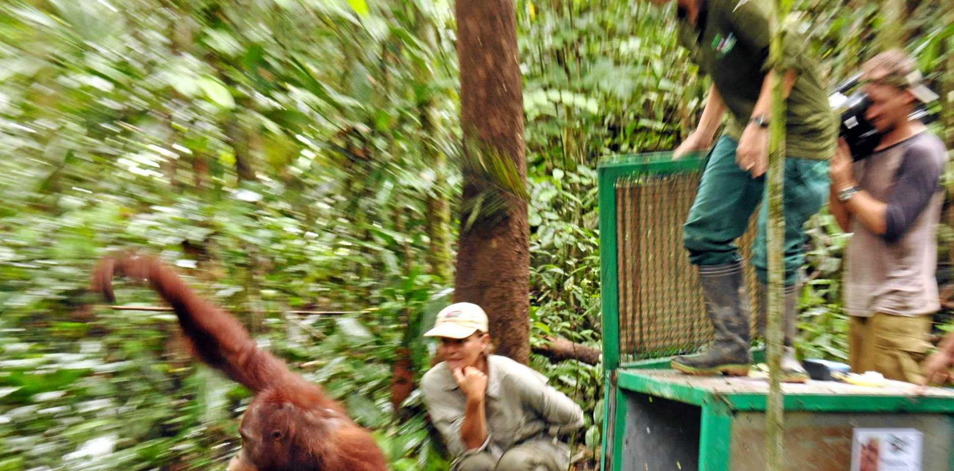 Lone Droscher Nielsen with a baby orangutan. Photo Contributed