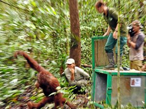 Dedicated orangutan advocate retires