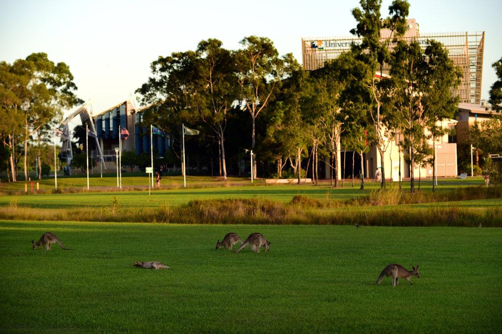 Kangaroos seen on the University of the Sunshine Coast's campus. Photo: Iain Curry / Sunshine Coast Daily