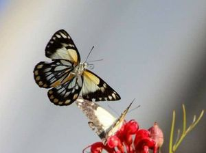Reader photos: Butterflies grace the Gympie region