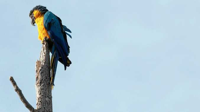 IS THIS YOUR MACAW: A very talkative macaw has been visiting  a Federal property over the past two weeks. he;s been nicknamed Alan as that's all he says. If this is your Alan get in touch with BSN and we will pass it on details.