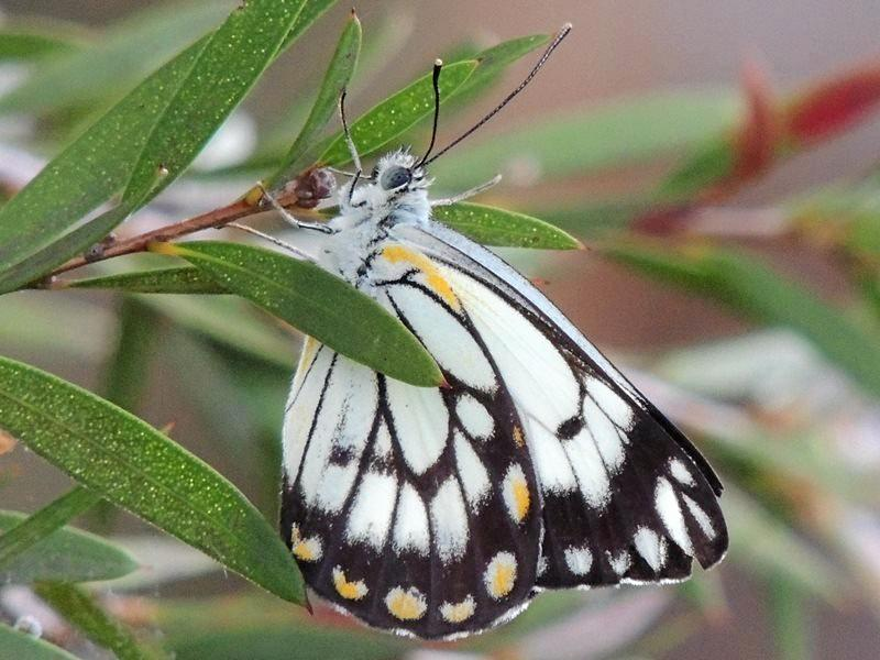 ON THE MOVE: The caper white butterfly has been migrating to Queensland in record numbers.
