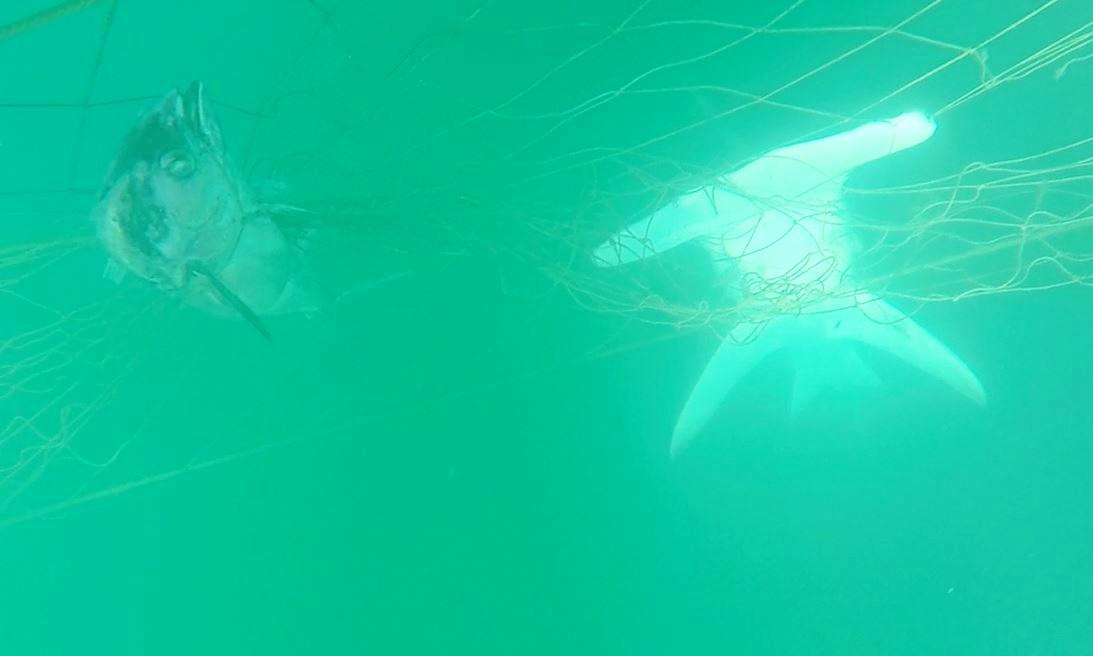 A hammerhead and tuna caught in shark nets off Noosa.
