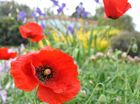 RED POPPY: The colourful flower beds at Warwick East State School. Photo Emma Channon/Warwick Daily News