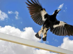 War against magpies sees man face weapons charge