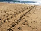 Tracks mark the route the first nesting turtle of the season took up Bokarina Beach.