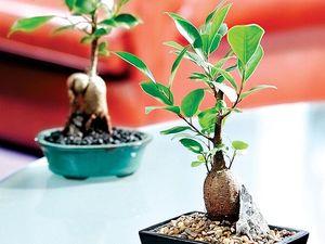 Gardening: Grow a mini banyan fig