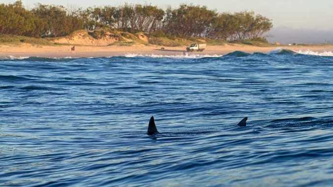 A shark swims off the beach at Cudgen.
