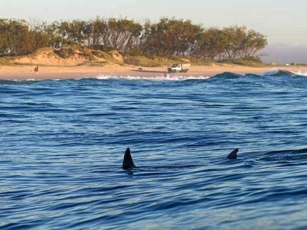 A shark swims off the beach at Cudgen.