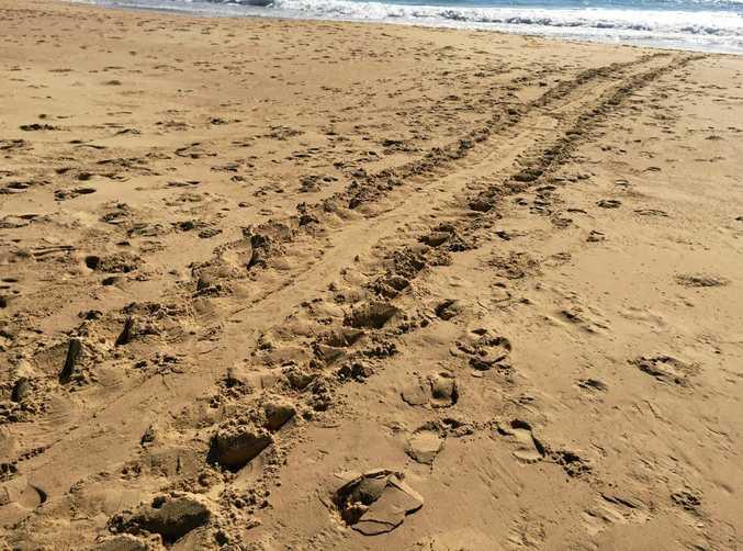 The green sea turtle's tracks on Bokarina Beach.