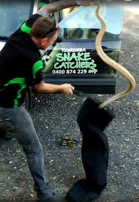 Snake catcher David Wiedman captures a huge brown snake.