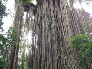 Ruth magazine celebrates Queensland's most intriguing trees