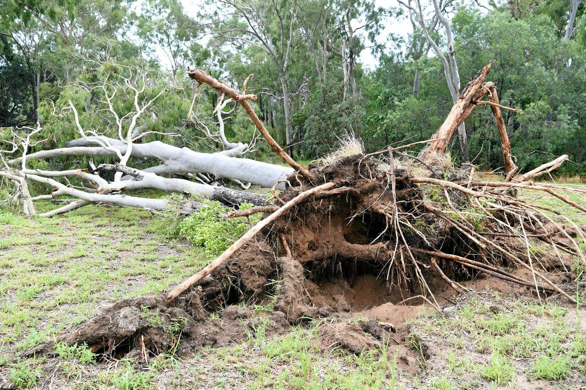 STORM DAMAGE: A number of trees where down this morning at Moore Park after yesterdays storms.