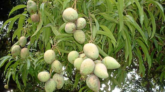 Haidee Jenkins warns about the hidden dangers of mango trees.