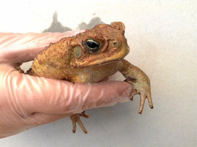 An adult male cane toad recently caught by a CVCIA member at West Yamba.