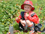 Cooloola Berries open today for free pick-your-own