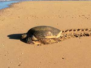 The concerning side effect of lack of rain on our turtles