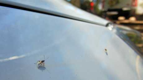 Insects which have been plaguing white or light coloured cars at the moment appear to be what are known as True Bugs, They may be from the Nysius genus, possibly Nysius vinitor, aka the Rutherglen bug.