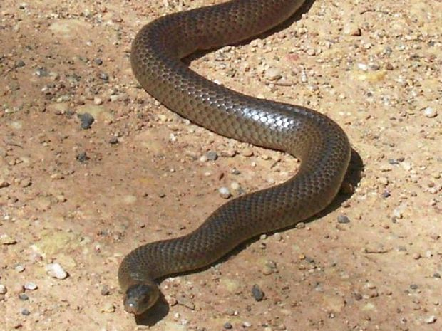 The Esatern Brown snake is found in areas from as far away as the Kimberley