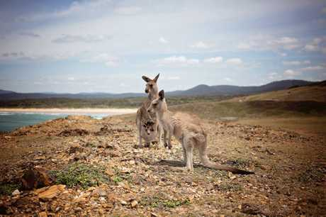 Kangaroos at Emerald Headland.