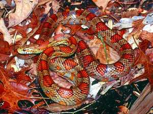 Foreign snake sighted in Airlie