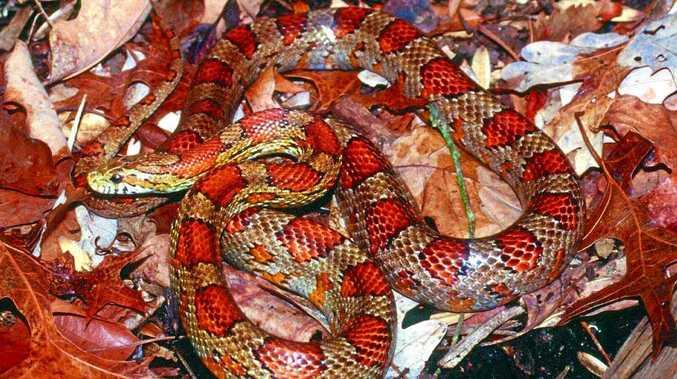 KEEP WATCH: An American corn snake.