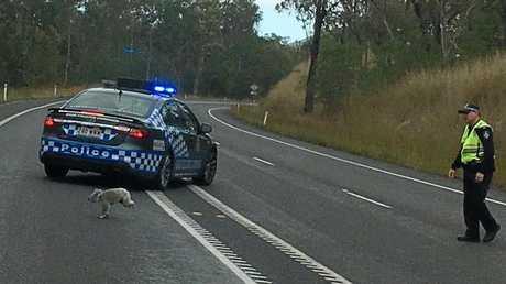 Koala-ty police work in action.