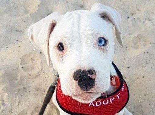 Marshall is a three-month-old, male American Bulldog x Dalmatian mix.