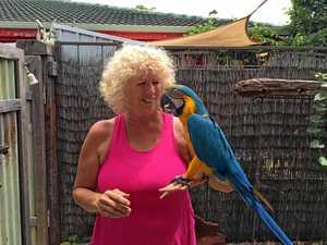 Lovelorn macaw returns home