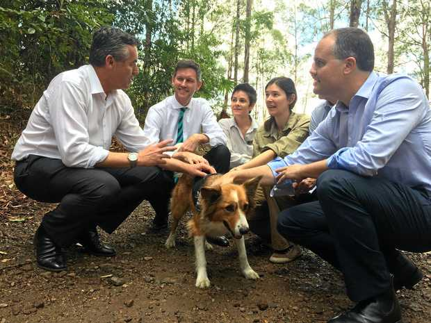 Border collie Baxter joins a team researching koala behaviour around the Bruce Hwy Cooroy-Curra upgrade.