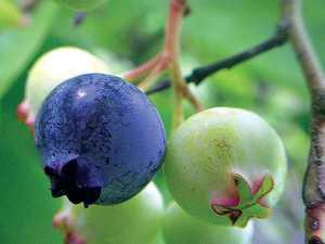 Little fruit packs punch