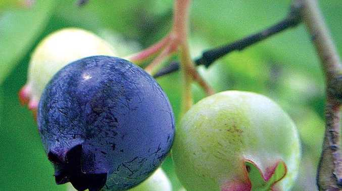 Blueberries have plenty of fibre, virtually no fat and loads of vitamins.