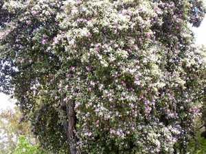 Australia's 40 hibiscus species