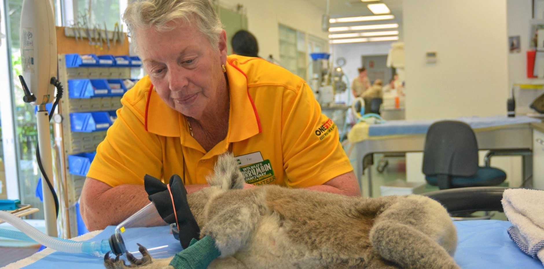 LIFE SAVER: Currumbin Wildlife Hospital volunteer Fay Buerger checks on Belinda the koala, injured when hit by a car at Byron Bay.