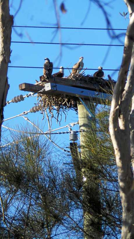 The osprey had built a very impressive nest during the 15 years.